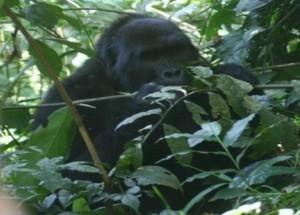 15-gorilla-bwindi-forest