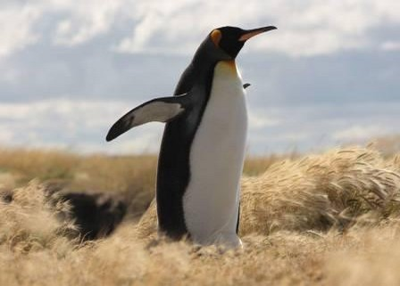 King Penguins in Tierra del Fuego